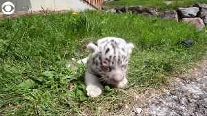 WEB EXTRA: White Bengal Tiger Cubs [Video]
