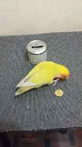 Parrot Puts Coins in Piggy Bank [Video]