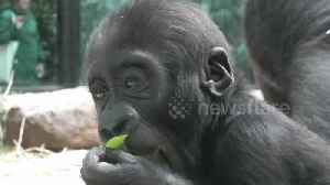 Time to get in shape! Adorable baby gorilla happily munches on leaf at zoo in the Netherlands [Video]