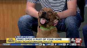 Pet of the week: Chico is a friendly boy who loves chasing toys and hanging out [Video]