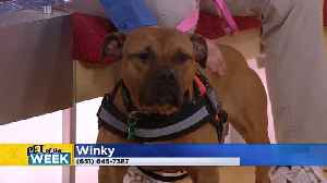 Pet Of The Week: Winky The Pit Bull Mix [Video]