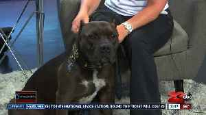 Pet of the Week: 3-year-old Pit Bull Batman [Video]