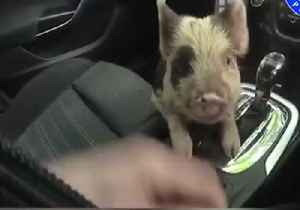 Bringing Home the Bacon: Coventry Police Rescue Pig From Busy Road [Video]