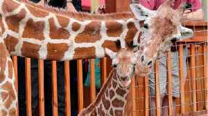 April The Giraffe Is Retiring (And Going On Birth Control) [Video]