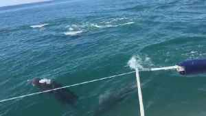 Sailor greeted by pod of twenty dolphins [Video]