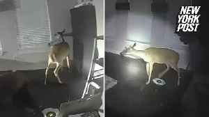 Home burglar turns out to be a deer [Video]