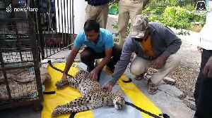 Moment when leopard cub returns to the wild after miraculous paralysis recovery [Video]