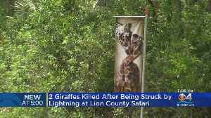 Two Giraffes Killed By Lightning At Lion Country Safari [Video]