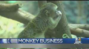 Baby Monkey Joins The Family At Franklin Park Zoo For Conservation Program [Video]