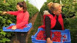 UK suffers from shortage of seasonal fruit pickers this summer [Video]