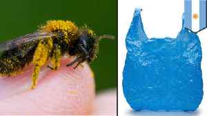 Argentinian bees make nests from plastic [Video]