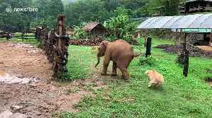 Clumsy baby elephant chases barking dog only to slip over and run away [Video]