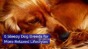 6 Sleepy Dog Breeds for More Relaxed Lifestyles [Video]
