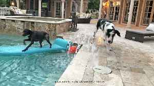 Pointer dog shows Great Dane how to pool surf [Video]