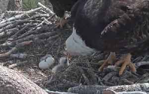 Rare footage of bald eagle eggs hatching [Video]