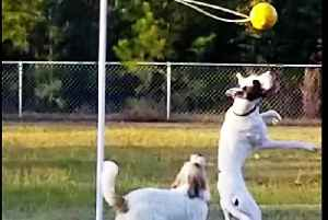 Great Dane service puppy & buddy have a blast with their tether-ball [Video]