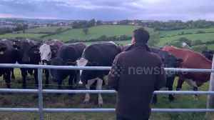 Herd of curious cows flock over and quietly listen to man singing Irish folk ballad [Video]