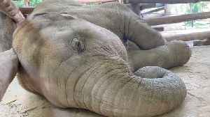 Baby Elephant Snores While Napping [Video]
