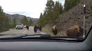 Scary moment shows bison herd charging towards vehicle [Video]