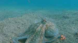 Octopus Scoots to Safety [Video]