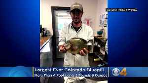 Largest Ever Colorado Bluegill Hooked By Fisherman [Video]