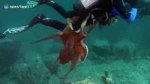 Giant octopus launches attack on diver off Sea of Japan [Video]
