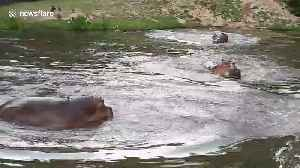 Hippos dive into pond to cool off from scorching heat at Thai zoo [Video]