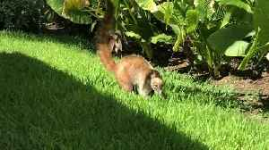 Coati steals fries from poolside vacationer [Video]