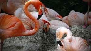 Denver Zoo's Same-Sex Flamingo Couple Has Been Together For Several Years [Video]