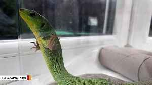 Stowaway Lizard Travels 2,000 Miles In Someone's Suitcase [Video]