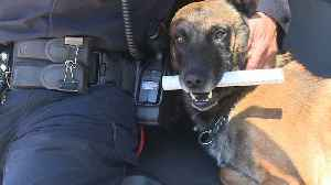 Following Amputation, Virginia Police Dog Returns to Work with Full Force [Video]