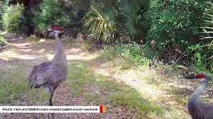 FWC Shares Video Of How Cranes Protect Babies From Potential Predators [Video]