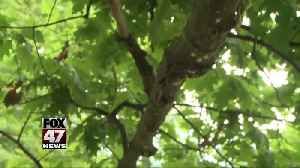 Lansing and DNR works to control gypsy moth spike [Video]