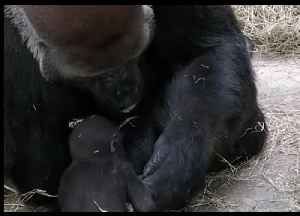 Dallas Zoo Pays Tribute to Endangered Silverback Gorilla on Father's Day [Video]