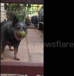 UK pup headbangs to try and remove tennis ball stuck on its nose [Video]