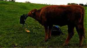 Clever cow learns how to smoothly deal with corn in a bag [Video]