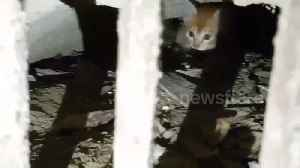 Frightened kitten rescued after hiding in storm drain to escape pack of wild dogs [Video]