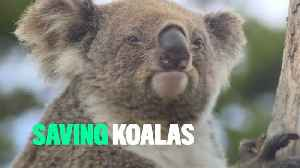 Only 80,000 koalas left in Australia [Video]