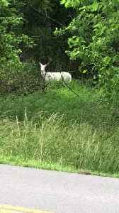 Albino Deer Spotted Near House [Video]
