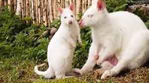 Wall-I'll-by! Adorable baby albino wallaby and her parents will hop, skip and jump her way into your heart [Video]