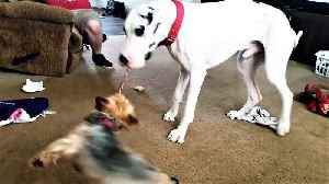 Great Dane swings small dog like a carnival thrill ride [Video]