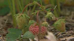 Cool Weather Makes Way For Sweeter Strawberries [Video]