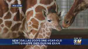 1-Year-Old Giraffe Named After Cowboys Jason Witten Dies At Dallas Zoo [Video]