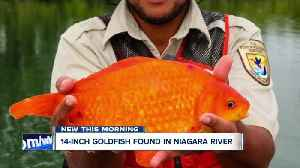 Warning after giant goldfish is found in the Niagara River [Video]