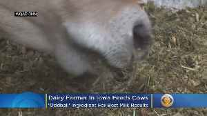 Dairy Cows Fed 'Oddball' Ingredient For Best Milk Results [Video]