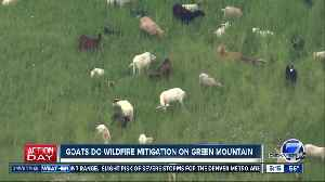 Goats do wildfire mitigation on Green Mountain [Video]
