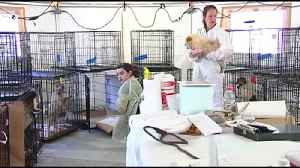 VIDEO Pair of dog breeders charged after 200 dogs removed from kennel [Video]