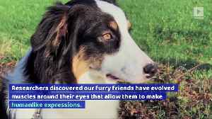 Dogs' Eyes Evolved to Be Appealing to Humans [Video]