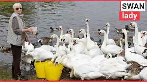 Gran saves swans by feeding them everyday [Video]