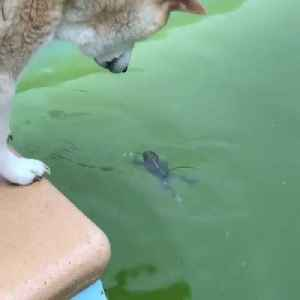 Curious Dog Pokes Frog in Pool [Video]